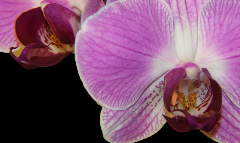 Orchid 8 b