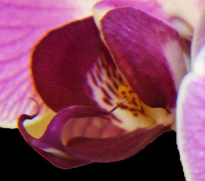 Orchid 8 c