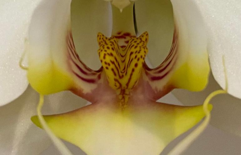 Orchid_4 crop