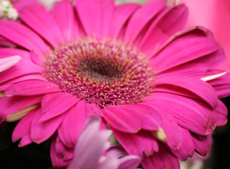 Red daisy 2