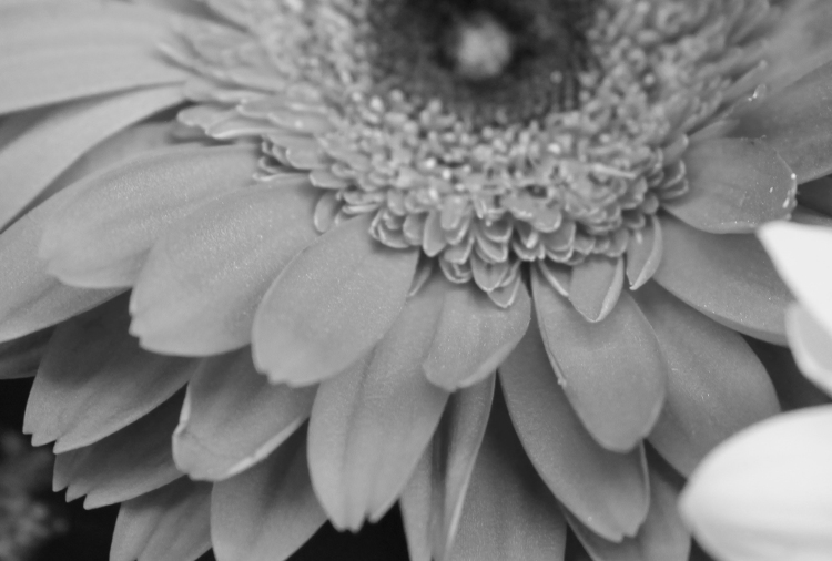 Red daisy 3 bw