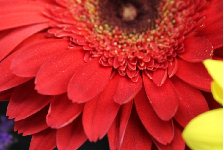 Red daisy 3
