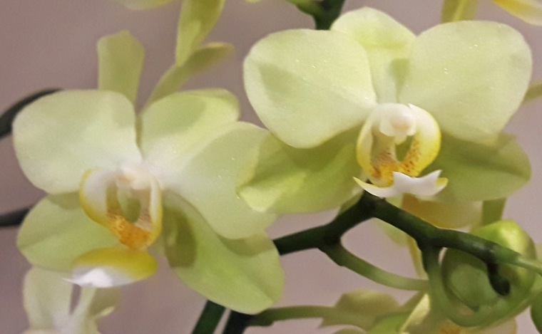 White 7 orchid