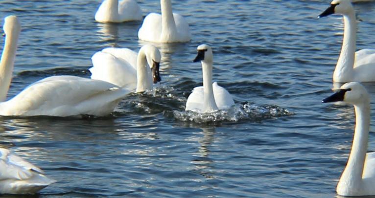 WWE swans 1