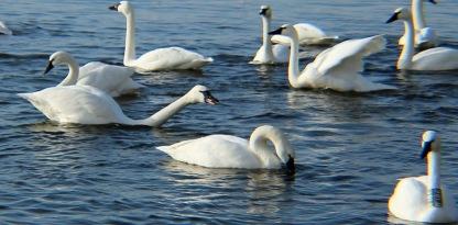 WWE swans 2 crop