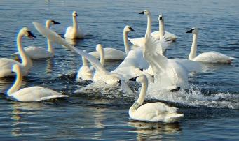 WWE swans 3