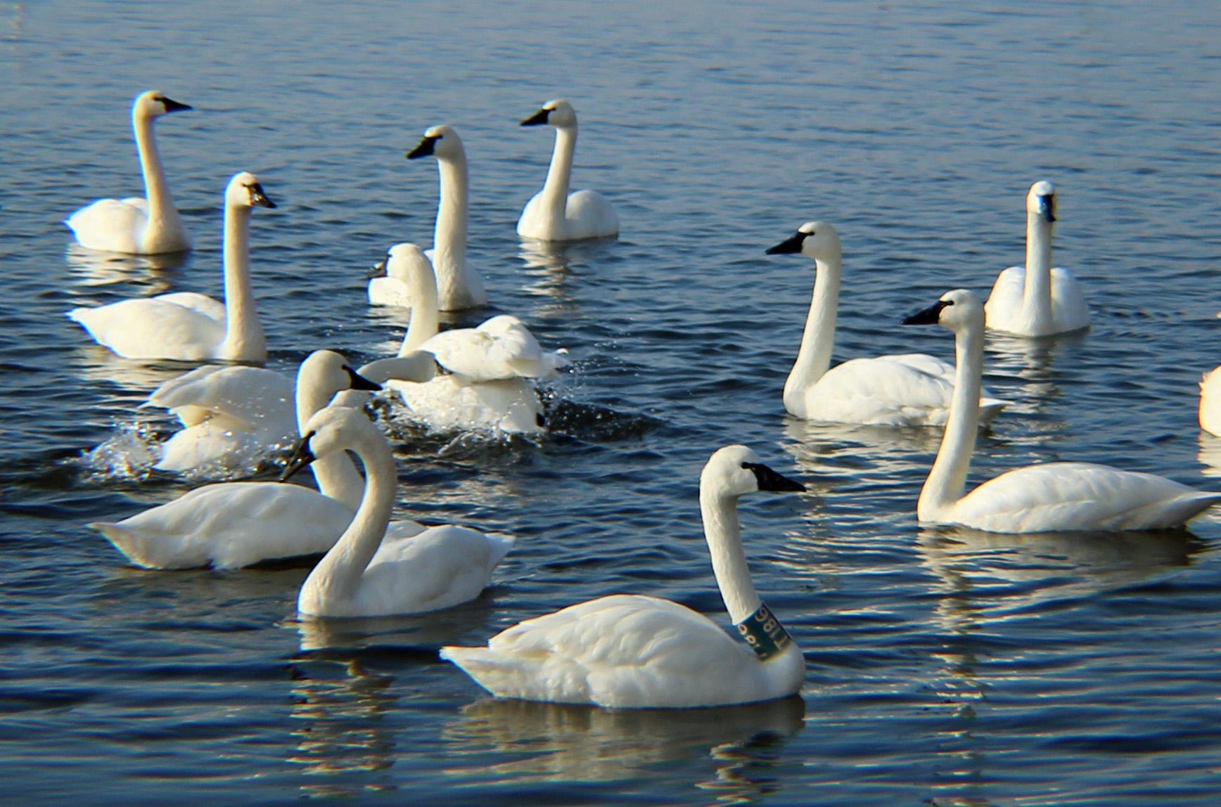 WWE swans 4