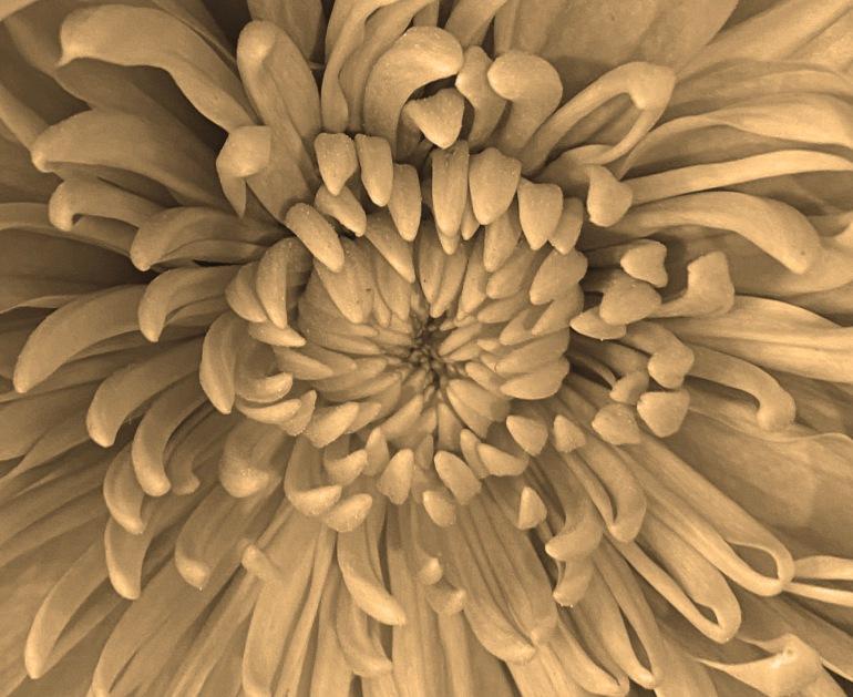 Blossom 3_21_2 sepia