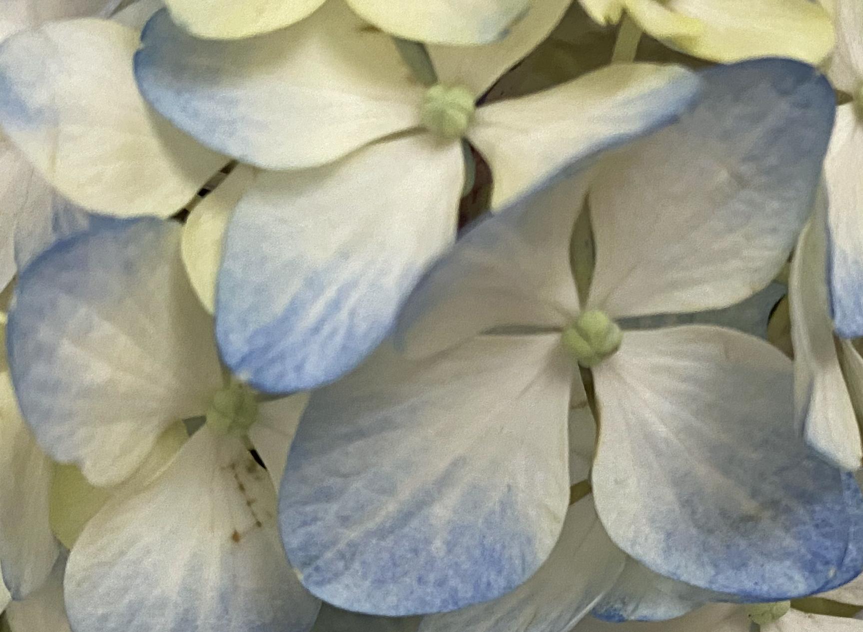 Blue 1 hydrangea crop
