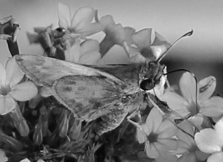 Butterfly 13 bw