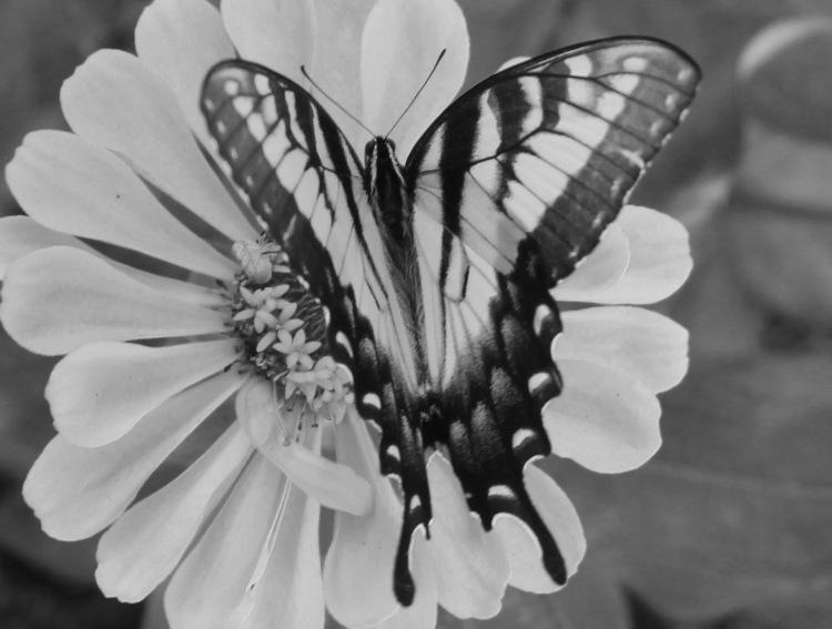 Butterfly 19 bw