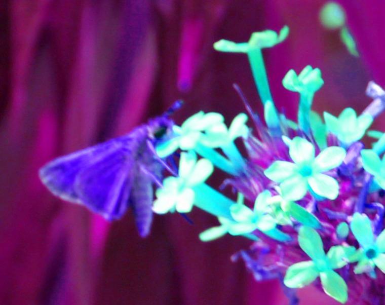 butterfly psych