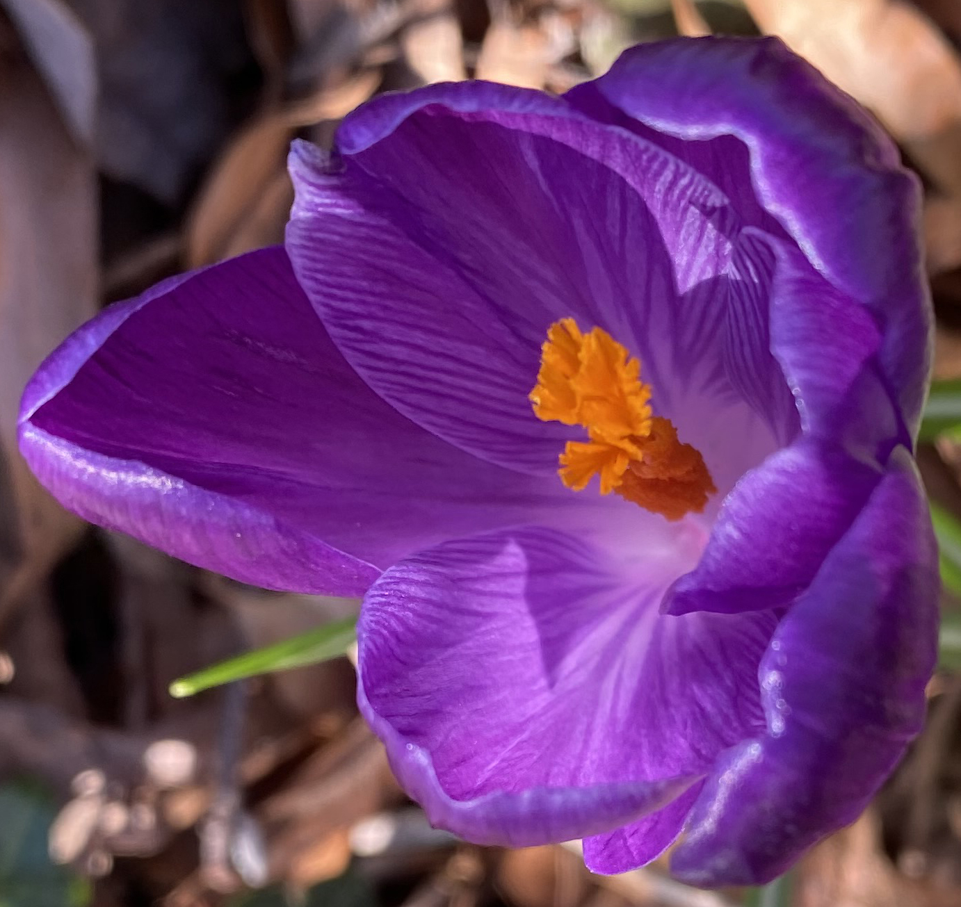 Crocus 1 crop