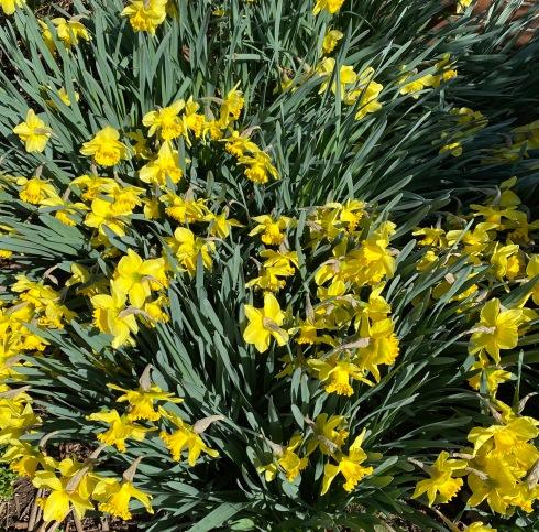 Daffodil 3_20_2