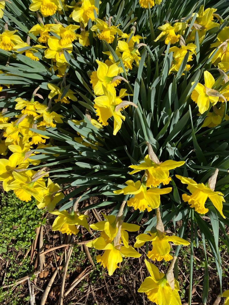 Daffodil 3_20_3