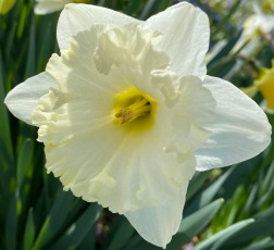 Daffodil 3_20_4
