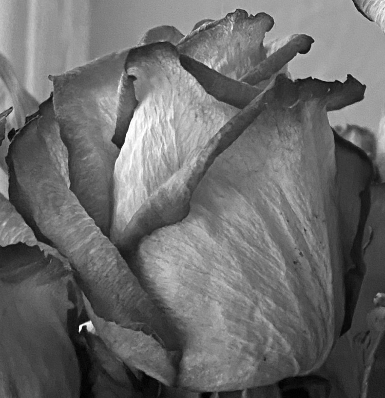 Dried roses 2 bw