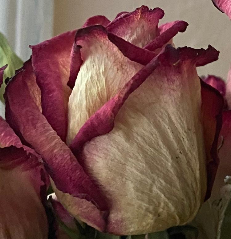 Dried roses 2 crop