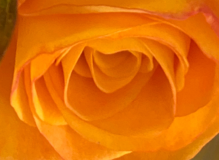 Orange 3 rose