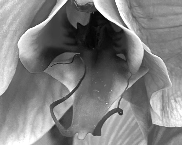 Orchid 1 blue 1 bw