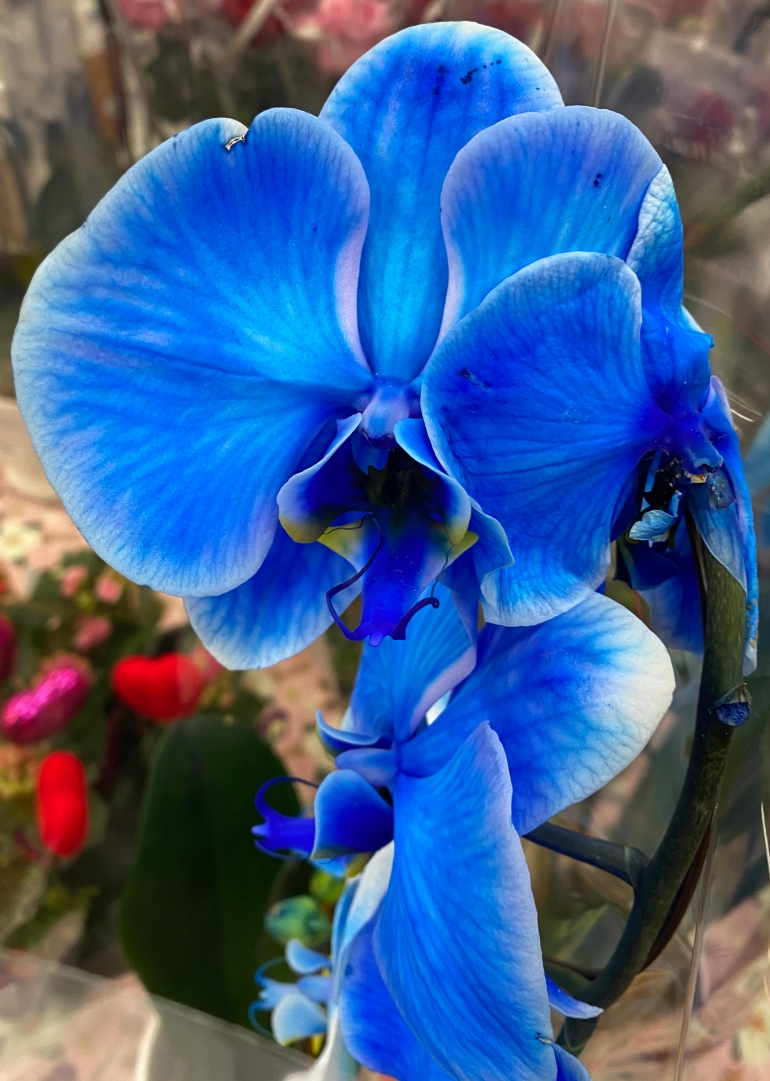 Orchid 1 blue 1