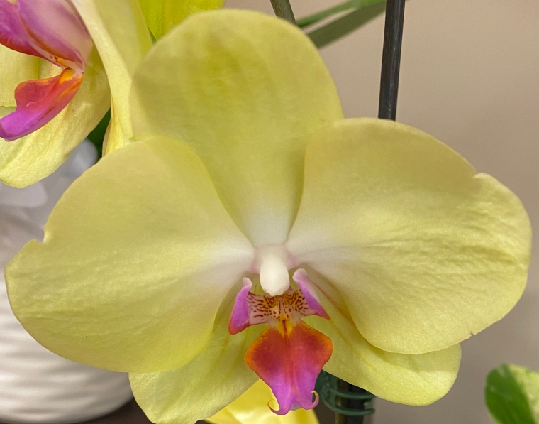 Orchid 1 yellow