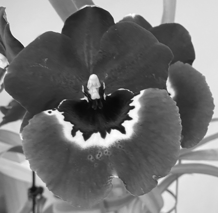 Orchid 3_28_1 bw