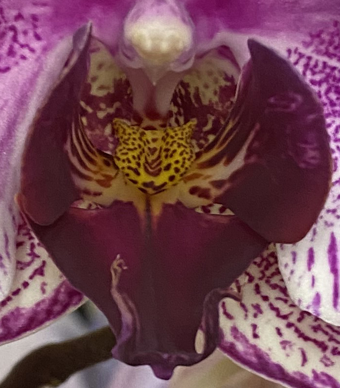 Orchid 3_2_5 stunning
