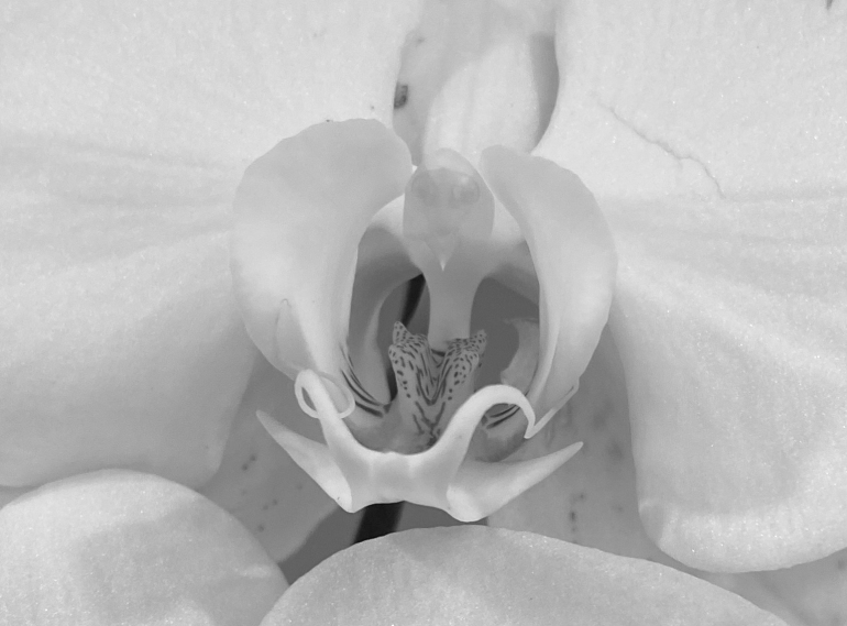 Orchid 3_6_1 bw