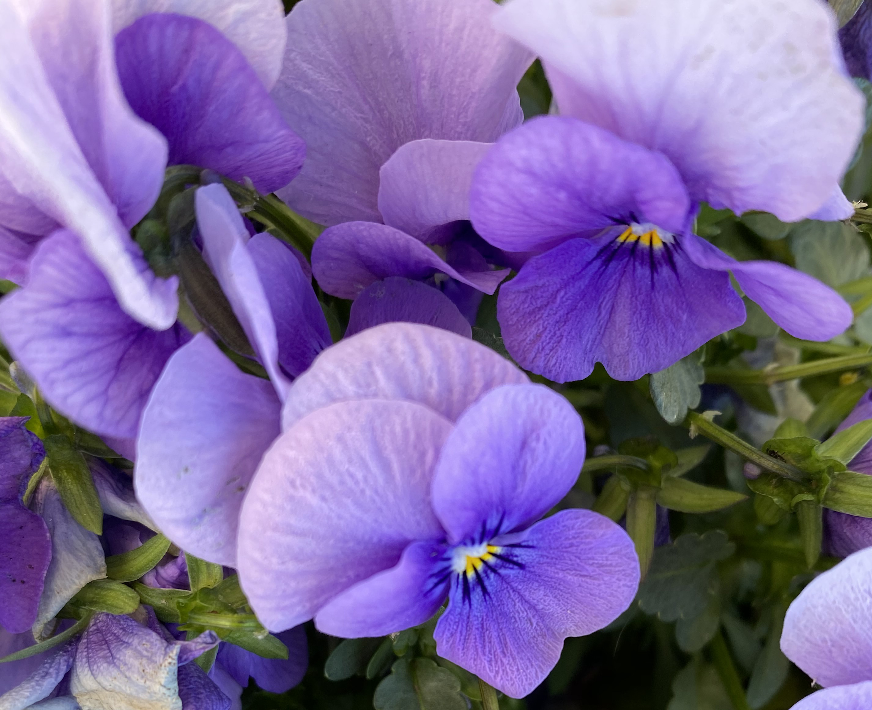 Pansy 3_15_3
