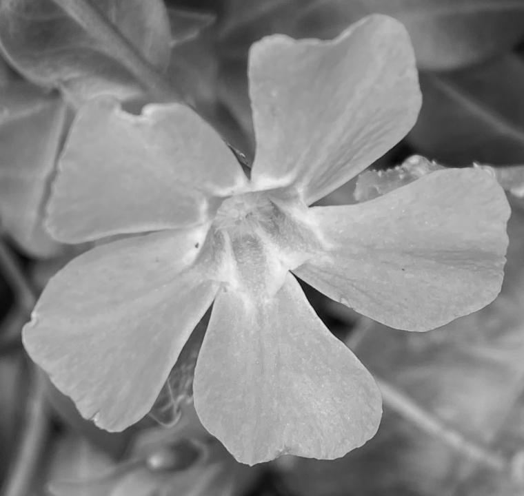 Periwinkle 1 bw