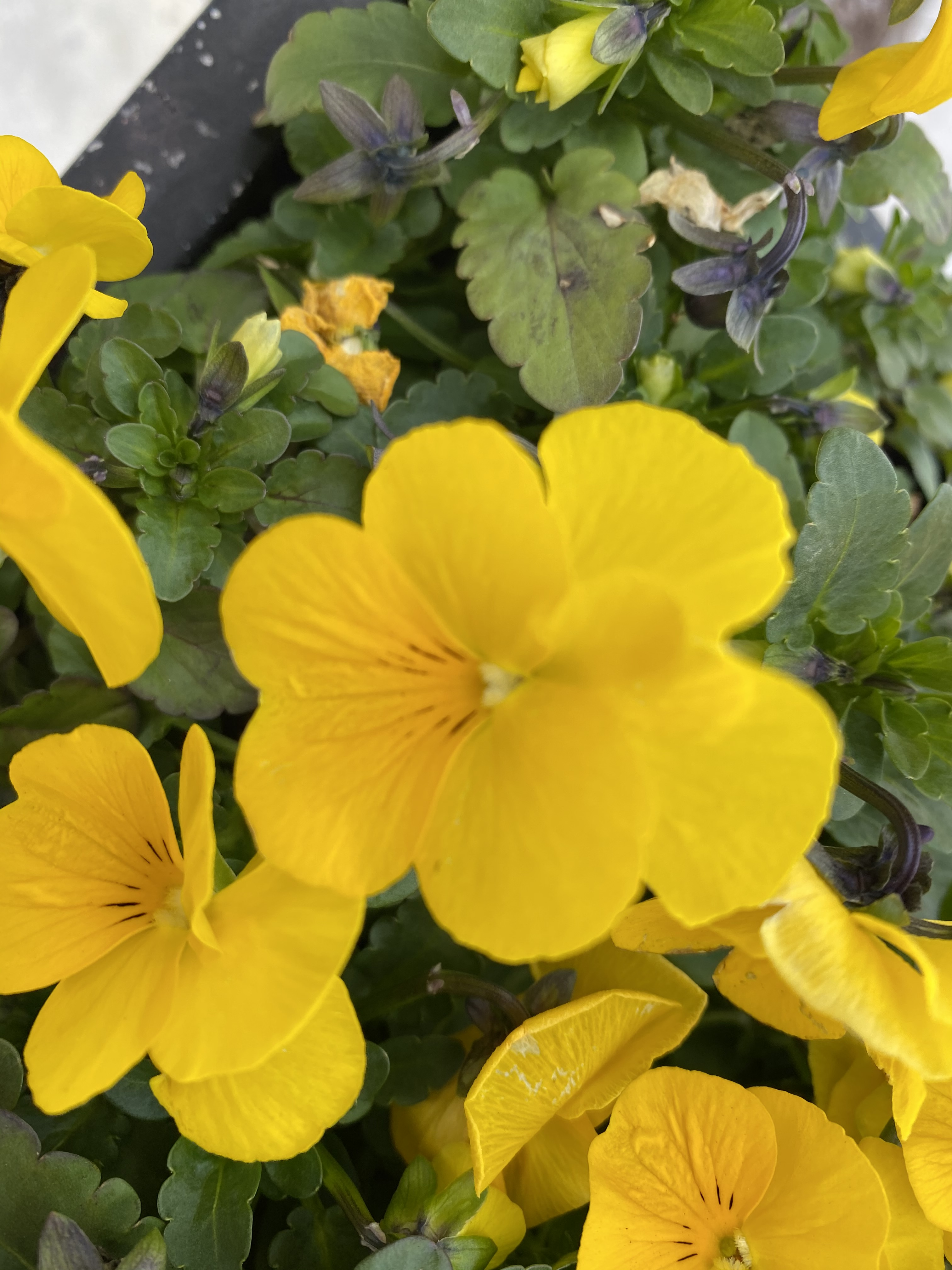 Yellow 1 pansy