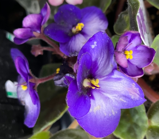 African violet 4_15_5