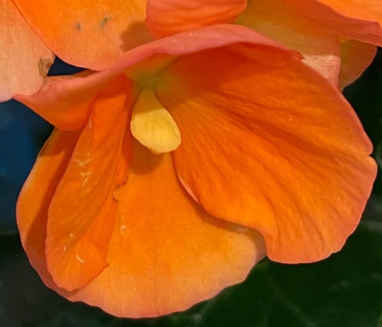 Begonia 1 MACRO