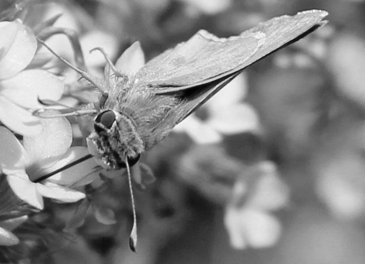 Butterfly 18 bw