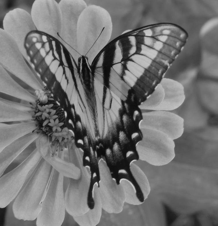 Butterfly 2 bw