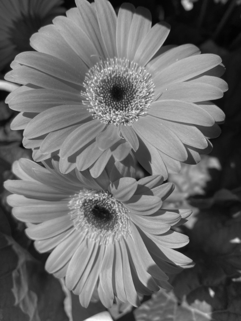 Daisy 1 red bw