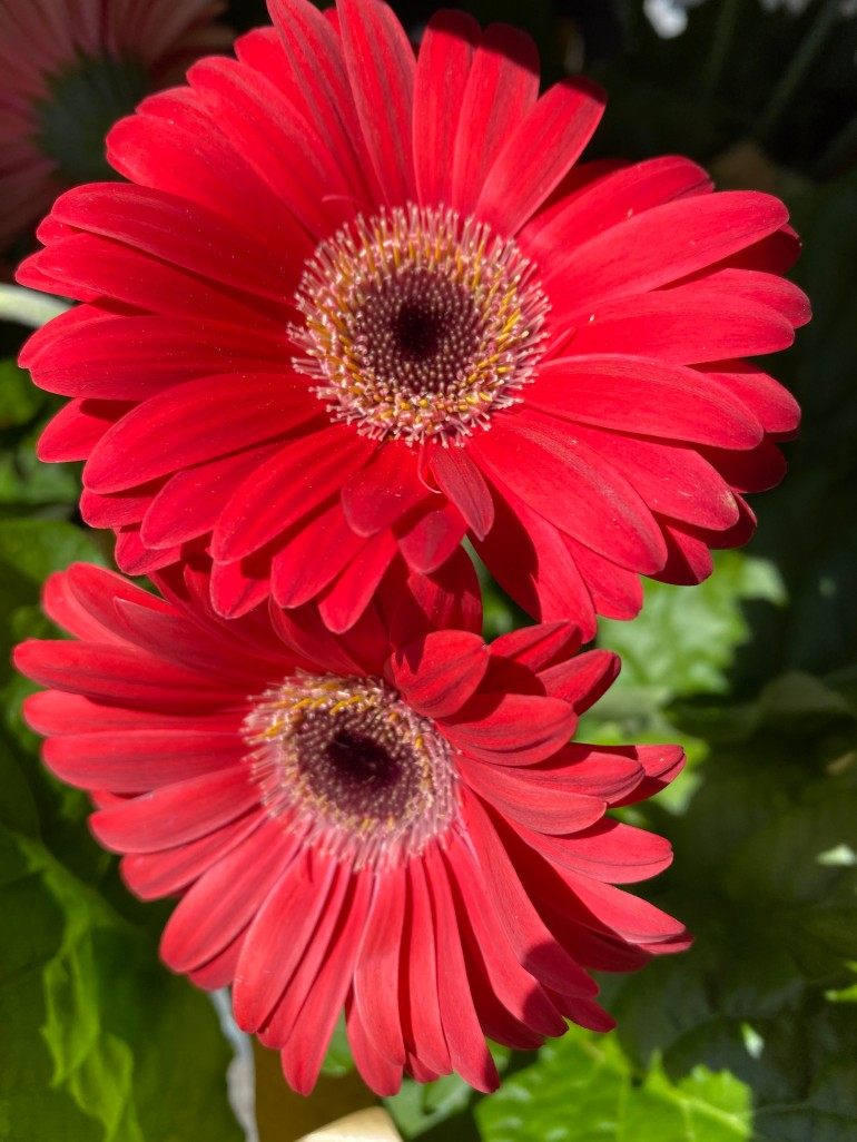 Daisy 1 red
