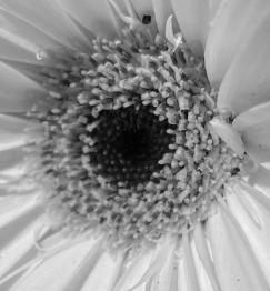 Daisy 2 bw
