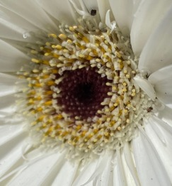 Daisy 2 white macro