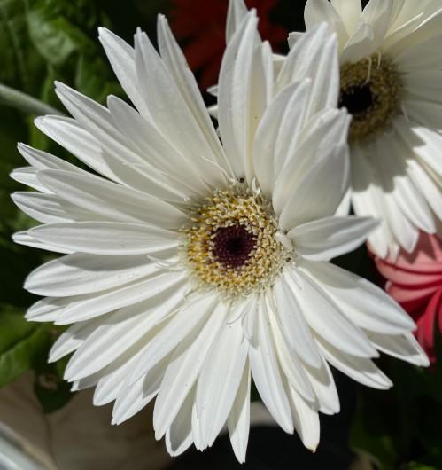 Daisy 2 white