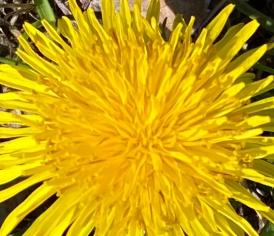 Dandelion 2 crop