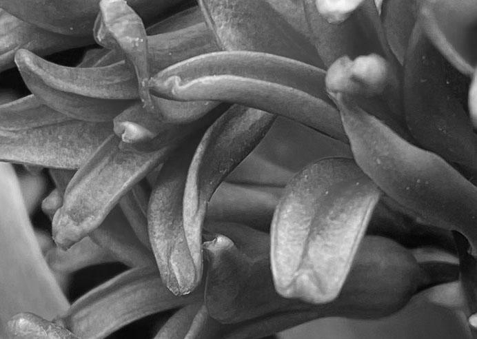 Hyacinth 2 bw