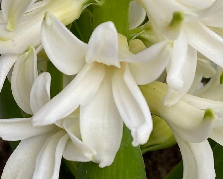Hyacinth 3 crop