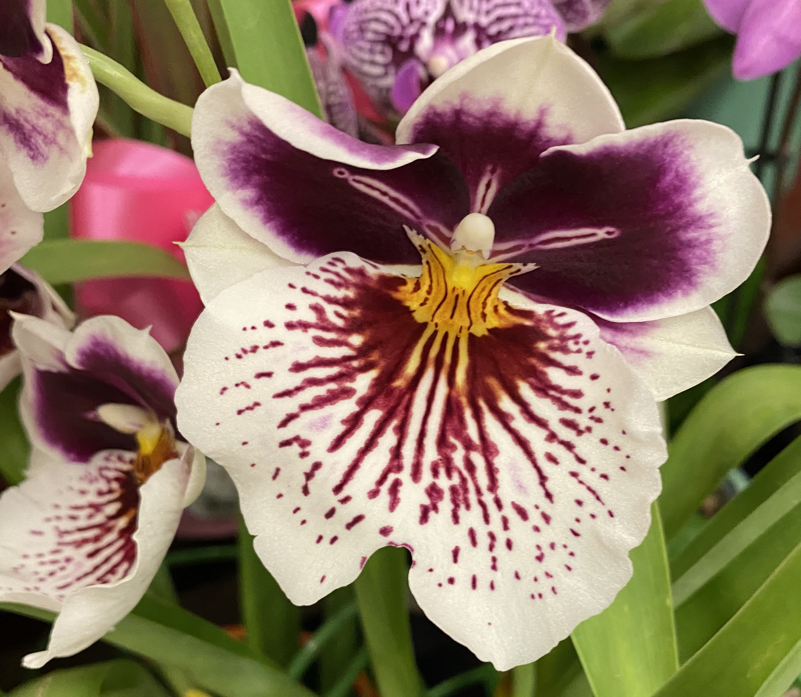 Orchid 4_3_8