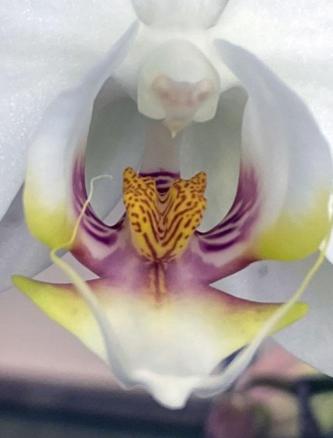 Orchid 4_3_9 macro