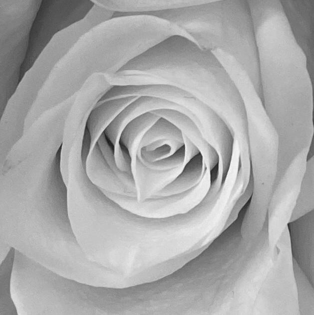 Roses 4_8_1 bw