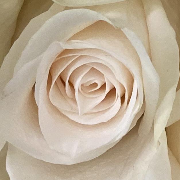 Roses 4_8_1 crop