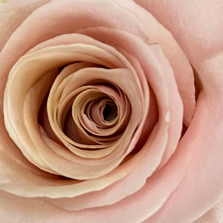 Roses 4_8_2 MACRO