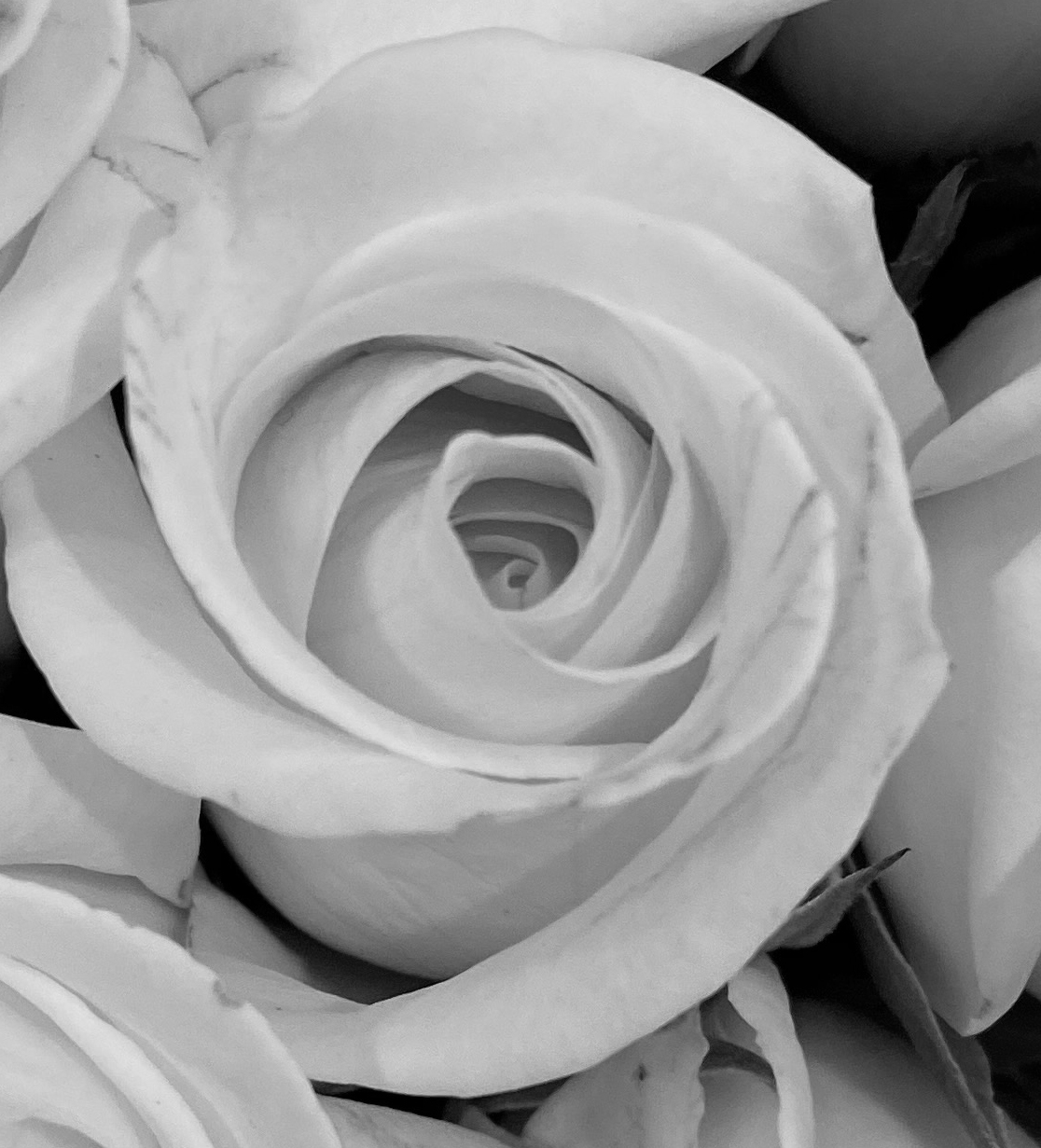 Roses 4_8_3 bw